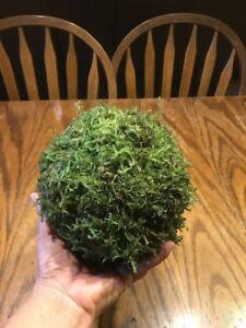Moss Balls preserved Set of 5, 6 inch Moss pomander balls rustic home decor