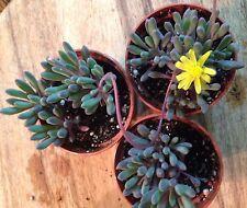 "Othonna Capensis 'Little Pickles' - 2 1/4"" Pots (3 Pack Combo)"