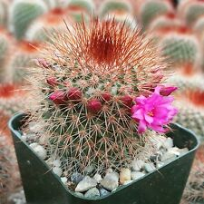 Mammillaria Spinosissima Nice Live Cactus Cacti Succulent Real Plant
