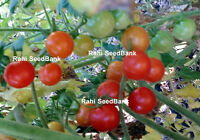 Mexico Midget Tomato - A Tomato is Perfect for Home, Market Gardeners - 10 Seeds