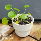 Pilea Peperomioides   'Chinese Money Plant'   Live Plant 3