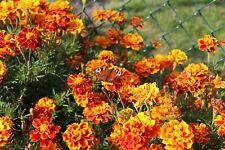 #3 Samen Saatgut Blumen TAGETES MISCHUNG (200) aus bio-veganer Gartenkultur