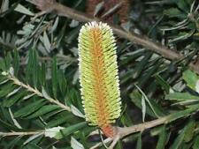 Silver Banksia Seed Variable Plant Evergreen Drought & Frost Hardy