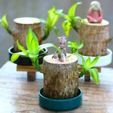 BRAZILWOOD HYDROPONIC LUCKY PLANTS With Tree Man Cute Model Toy Indoor Decor