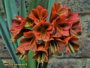 Clivia Nº39 Tjokkie X Tjokkie (En Seedling con 3 hojas)