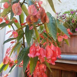 BEGONIE Forellenbegonie mit roten Blüten, Steckling/Ableger etwa 20-25cm