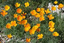 5,000 Orange California Poppy Seeds Garden Starts Nursery Seeds