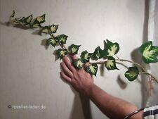 Hedera helix Goldheart  - jetzt pflanzen ! Winterhartes Goldherz-Efeu 100 Samen