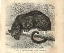 Stampa antica PANTERA NERA (Felis variegata) 1891 Old antique print