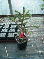 Picea orientalis Golden Start grafted 7cm pot bonsai subject