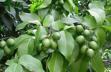 Quenepa Tree Plant Genip Spanish Lime Mamoncillo Melicoccus (2 live trees)
