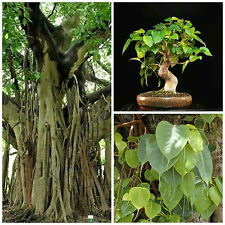 50 seeds of Ficus religiosa,bonsai seeds R