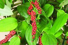 Negro/Blanco pimienta (Piper nigrum) para el crecimiento/Germinación Semillas frescas 5