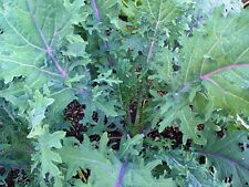 RED RUSSIAN KALE x1500+ SEEDS - Organic Homegrown