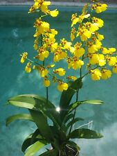 Orchid Oncidium Dancing Lady in bloom Mad Happenings Sale Tropical Plant