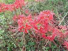 2 Red Spider Lily Flower Fresh Bulbs