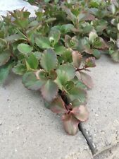 Sedum Tricolor Unrooted Cuttings Ground Cover Stonecrop Succulents Plant Starts