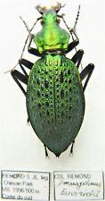Carabus coptolabrus smaragdinus euviridis (female A1) from SOUTH KOREA