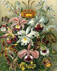 Art Forms in Nature Ernst Haeckel -Orchids -8 x 10 Fine Art Print
