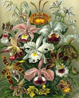Art Forms in Nature Ernst Haeckel -Orchids -8 x 10 Fine Art Print