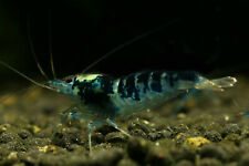 5+1 Blue Dragonblood Calceo Shrimp Freshwater. Rare and Exoctic Shrimps