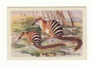 Australian Animal Trade card - Banded Ant Eater (Numbat)