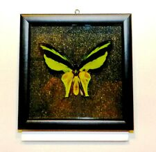 Ornithoptera meridionalis male. Frame made of expensive wood. VERY RARE!!
