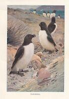 C1914 Natural History Estampado ~ Razorbill Bird ~ Lydekker