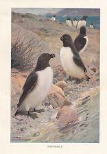 c1914 NATURAL HISTORY PRINT ~ RAZORBILL BIRD ~ LYDEKKER