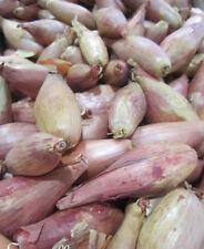 Oignon Echalote-Matador hybride F1-60 graines .. un semences = un chic ECHALOTE