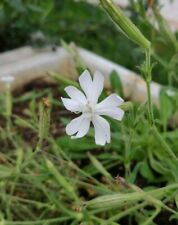 African Dream Root, Silene Capensis, Xhosa Dream Herb - 10 Seeds