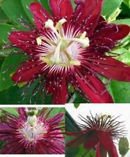 "Lady Margaret Passion Flower  4"" Pot Graden & Home Outdoor Indoor Plant Gift New"