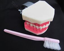 Teeth Study Teaching Macro Model with Toothbrush Hygienist Dental Typodont Stand