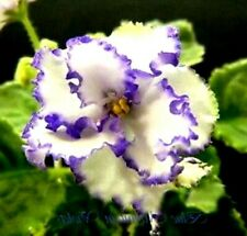 African Violet leaves Ma'S Arctic Sky Variegated, Beautiful Blue/White Blooms!