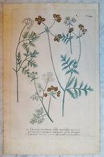 Johann Wilhelm Weinmann (1683 - 1741) kolorierter grabado (# 5291)