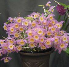 Dendrobium loddigessi Species