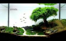 Xmas moss - Live Aquarium Brackish water fish tank plant, For Decoration