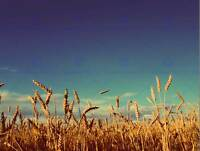 PHOTOGRAPHY LANDSCAPE WHEAT FIELD BLUE SKY CROP HARVEST ART PRINT POSTER MP3517B