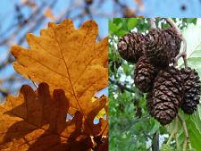 100 Erlenzapfen (Alnus glutinosa) u. 100 Eichenblätter (Quercus robur) Futterset