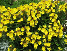 2000 Oenothera lamarckiana Yellow Evening Primrose Flower Seeds *Gift* Comb S/H