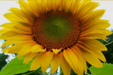 MAMMOTH GREY STRIPE SUNFLOWER - 30 SEEDS! Comb.S/H! SEE OUR STORE!