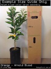 Orange - Arnold Blood (Citrus sinensis) Fruit Tree Plant
