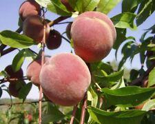 Peaches Heirloom Orangic 50 Seeds Pink Flower Sweet Peach Fruit Tree