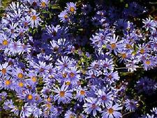 SMOOTH BLUE ASTER FLOWER SEEDS  *****