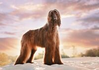 A4| Beautiful Afghan Hound Poster Size A4 Dog Pet Animal Poster Gift #16262
