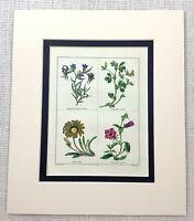 1824 Antico Botanico Stampa Pisello Viola Nierembergia Gazania Fiori Maund Raro
