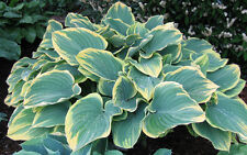 Sagae Hosta Variegated Plantain Lily Liliacea Heavy Perennial 1 Qt Potted Plant