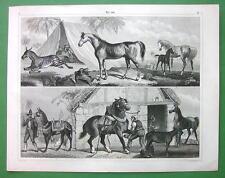 HORSE Arabian Colt Stallion Zebra Ass Norman - SUPERB 1844 Print