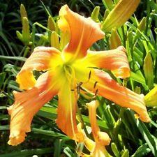 Daylily Plant CURLS GONE WILD 2 Fans Perennial Selman Orange Yellow Flower