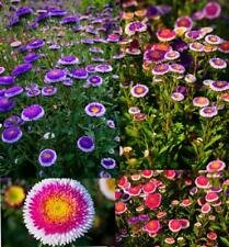 Moon Aster 50 Seeds, Mixed colours